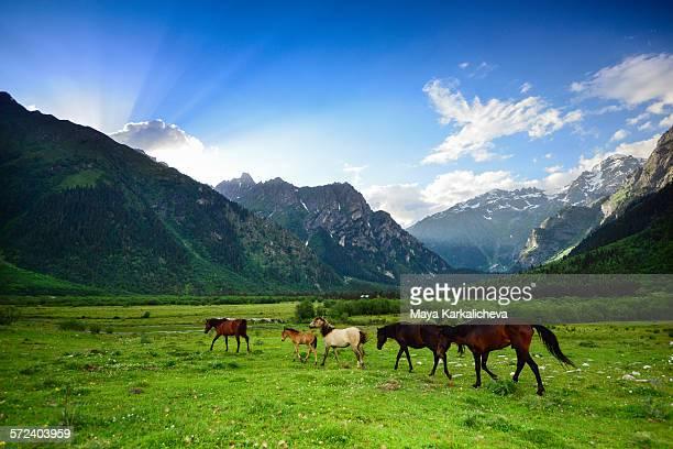 Wild horses in Caucasus mountain