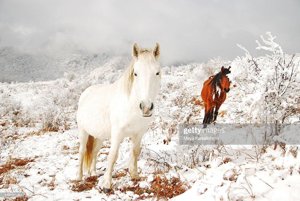 Wild horses in snow mountains : Stock Photo