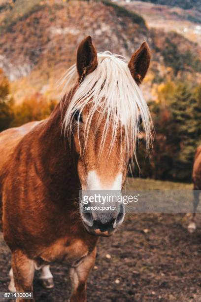 wild horses in south tyrol