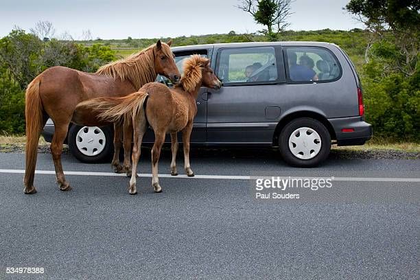 Wild horses looking into tourist's car