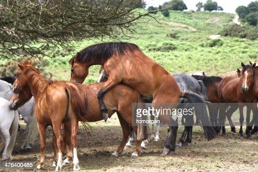Horse N Donkey Breeding Cavalli Selvaggi Accop...
