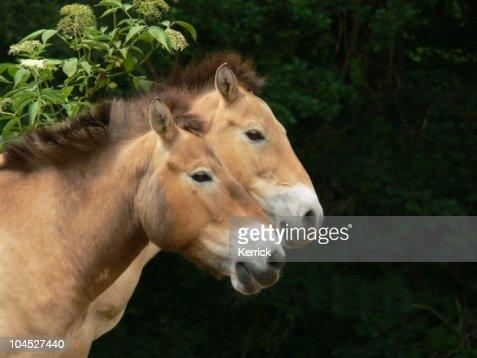 wild horses, mongolian horse portraits