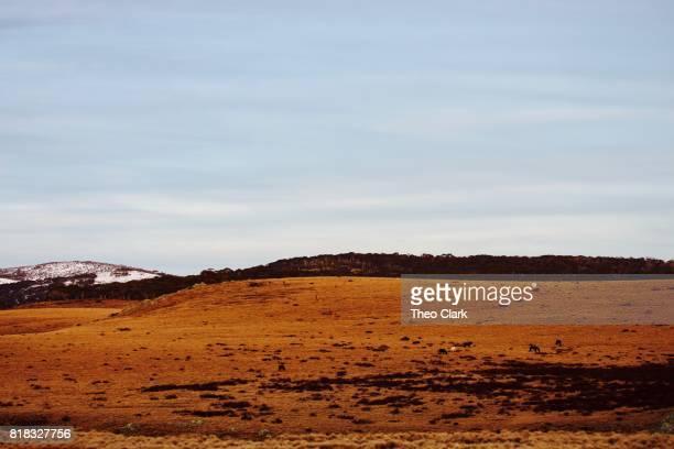 Wild horses on hillside in Snowy Mountains