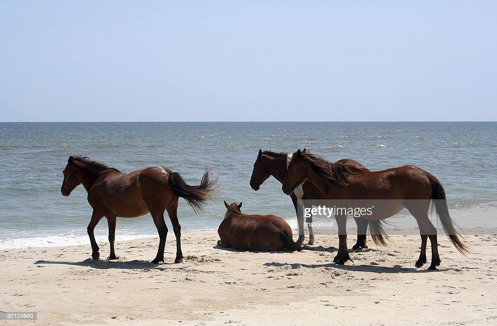 Wild horses on the beach at assateague maryland stock photo wild horses on the beach at assateague maryland stock photo sciox Images