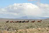 A herd of Wild Horses runs through sage brush in central Nevada