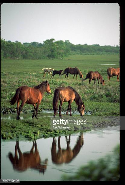 Wild Horses Reflected in Water