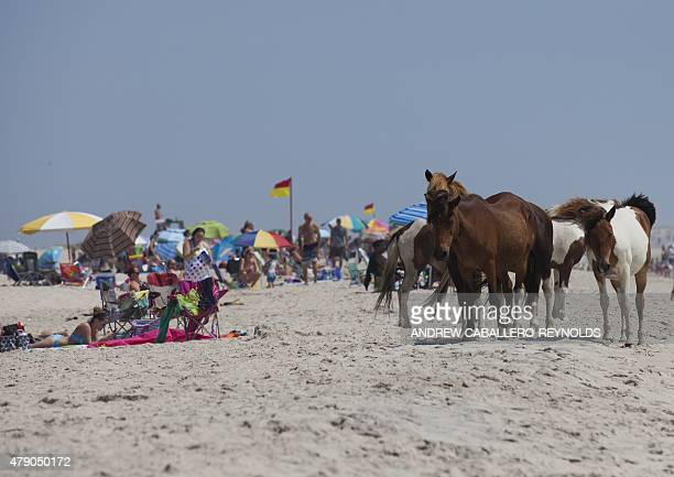 Wild horses relax on a beach near sunbathers on Assateague Island Maryland on June 30 2015The horses on the island are decedents of domestic animals...