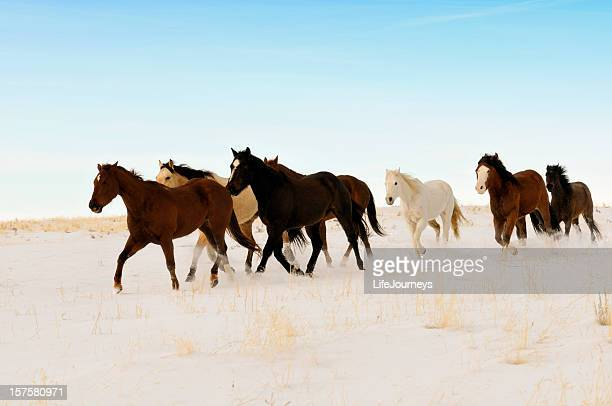 Wild Horses Running Across A Snowy Winter Swept  Desert