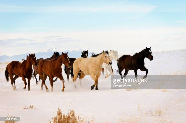 Chevaux sauvages courir en hiver gamme
