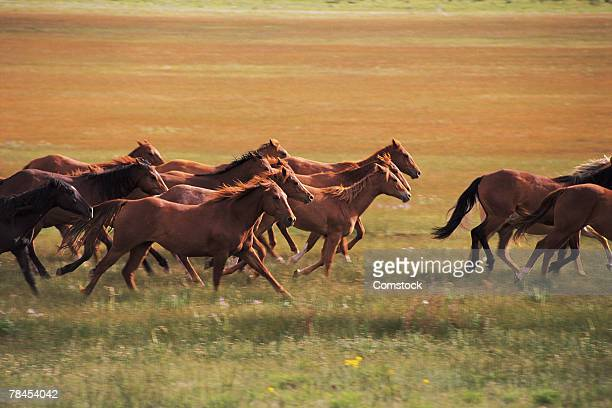 Wild horses running near Fairplay, Colorado