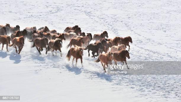 Course de chevaux sauvages