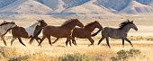 a herd of wild horses running across the desert