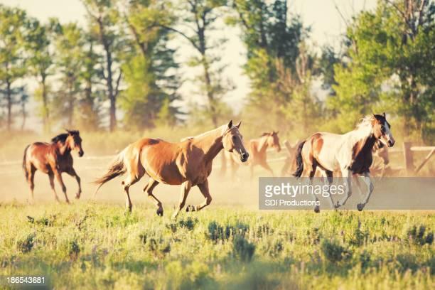 Chevaux sauvages qui traverse le champ Montana