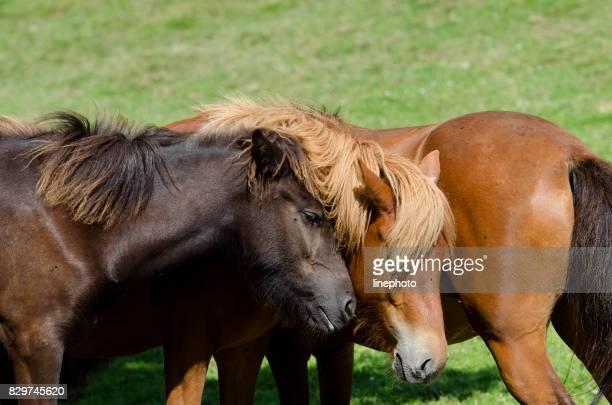 Wilde Pferde kümmern uns einander und ihre Liebe zu zeigen.