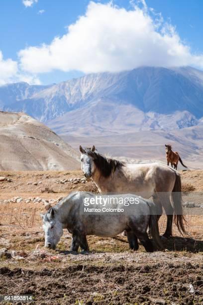 Wild horses, Upper Mustang region, Nepa