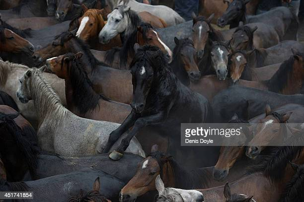 Wild horses wait to have their manes and tails sheared during the rapa das bestas on July 5 2014 in Sabucedo Spain During the more than 400yearold...
