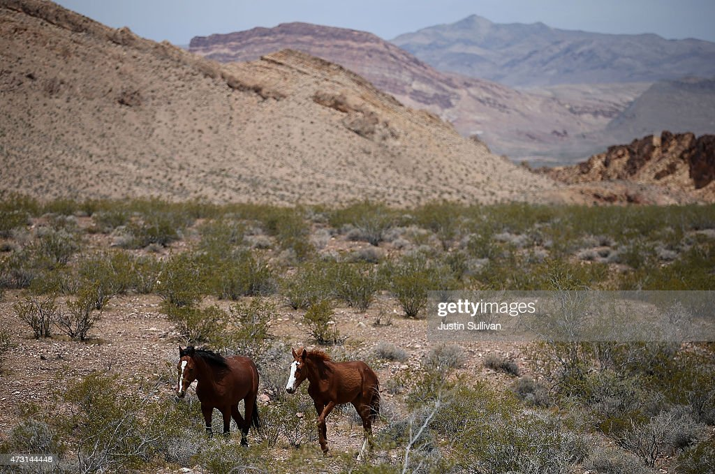 Wild horses walk through dry brush on May 12 2015 in Lake Mead National Recreation Area Nevada As severe drought grips parts of the Western United...