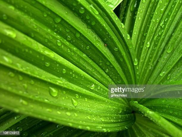 ワイルドギボウシ植物、「Wet (ウェット)」のレイン