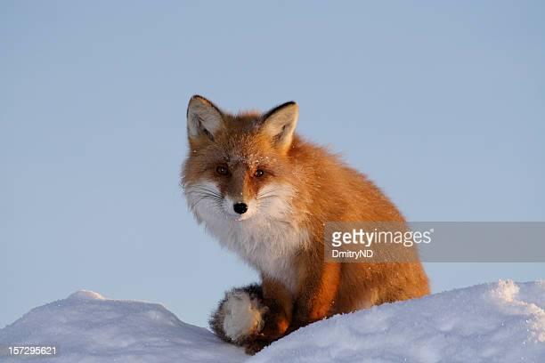 Wild kind fox.