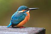 Wild Kingfisher