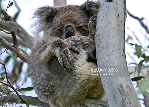 Wild Koala curled up sleeping
