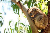 Single wild koala is sleeping as it is laying on the branches of an eucalyptus tree. Focus is on the animal, eucalyptus leaves are blur in the background. This picture is taken in Great Otway National