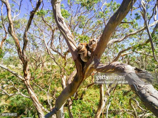 Wild koalas in a tree, Great Ocean Road, Victoria, Australia