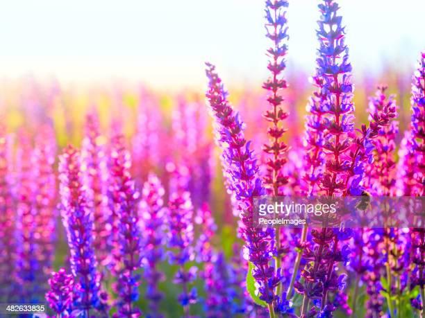 Lavande en fleurs sauvages