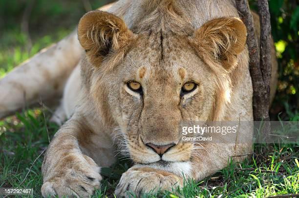 Wild Lioness Resting