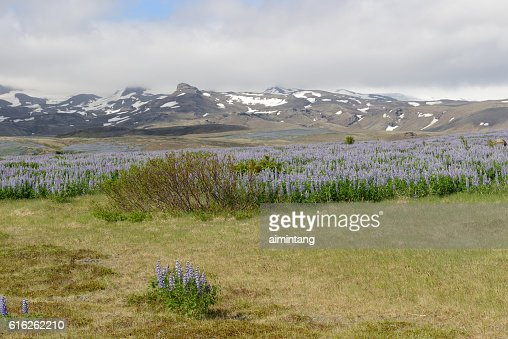 Wild lupines with mountains in background in Iceland : Foto de stock