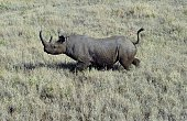 A wild male black rhino named Sambu is pictured after it was darted from a helicopter in Lewa conservancy on August 28 2013 11 of Lewa's total 73...