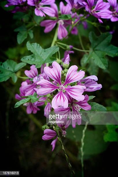 Wild Malve Blumen