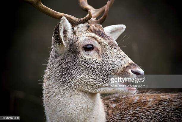Wild Manchurian Sika Deer with Antlers and mouth open. English Peak District