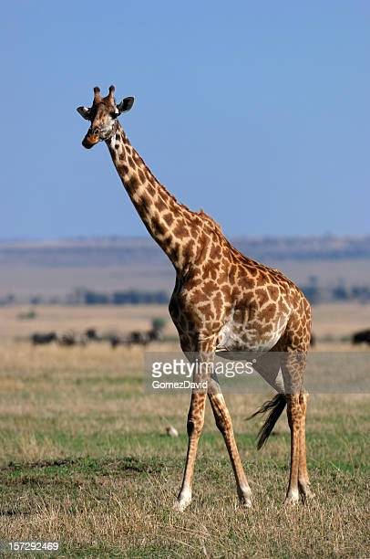 Wild Masai Giraffe on the Mara