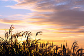 Japanese silver grass at sunrise.