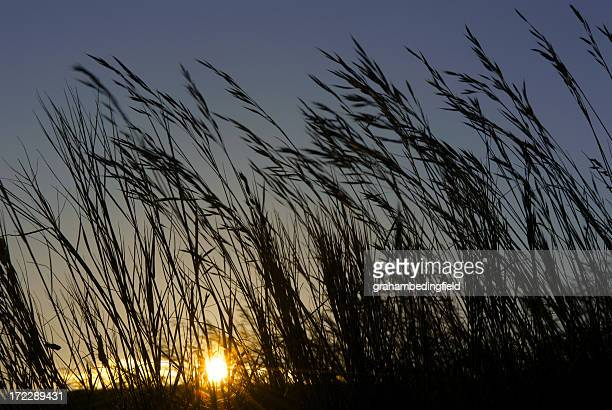 Wild Meadow grass at sunset