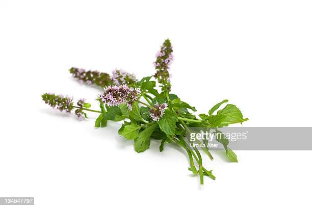 Wild mint with flowers