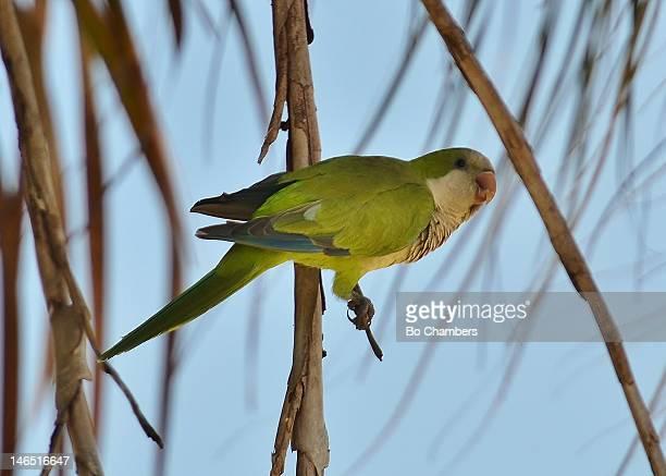 Wild monk parakeets
