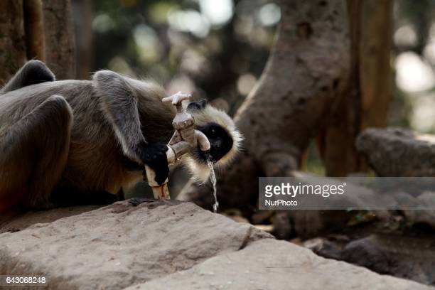 A wild monkey drinks water at a water supply tap inside the Khandagiri hills to fill the thirst in the eastern Indian city Bhubaneswar India on...