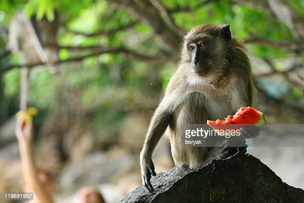 Wild monkey eating watermelon