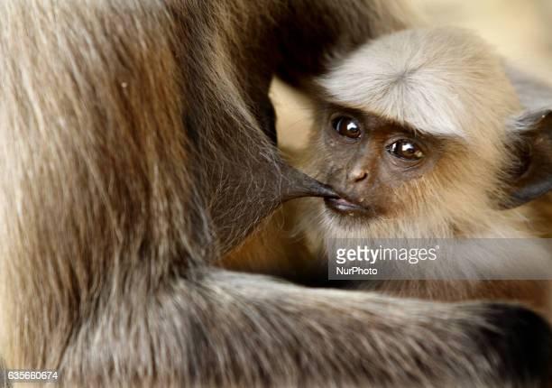 A wild monkey feeds its baby inside the Khandagiri Cave hills outskirts of the eastern Indian city BhubaneswarIndia Thursday 16 February 2017