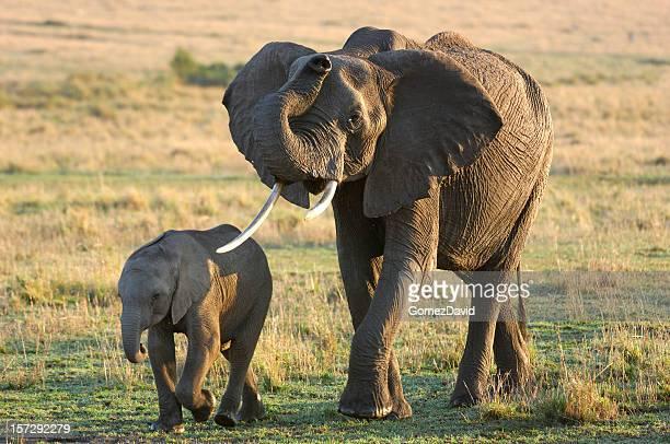 Wilde Afrikanische Elefanten-Mutter und ihr Baby