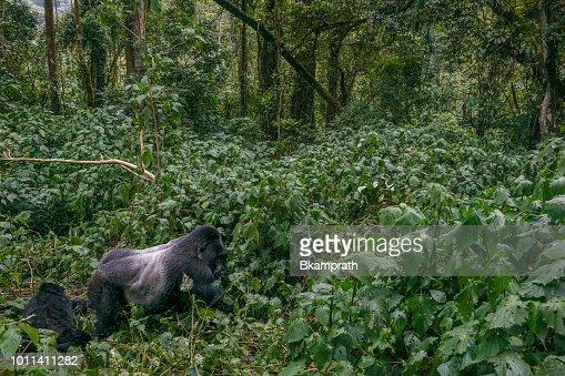 東アフリカのウガンダのブウィン...