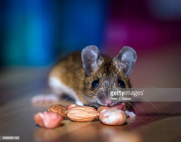 Wild mouse caught eating peanuts