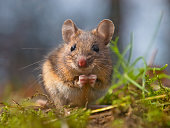 Cute wood mouse sitting on hind legs