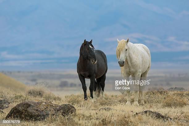 Wild Mustang Horses In The West Desert Of Utah