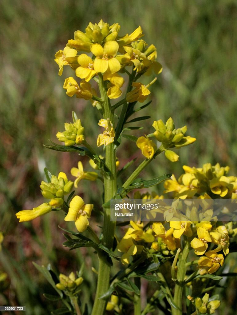 Wild Mustard Plant : Stock Photo
