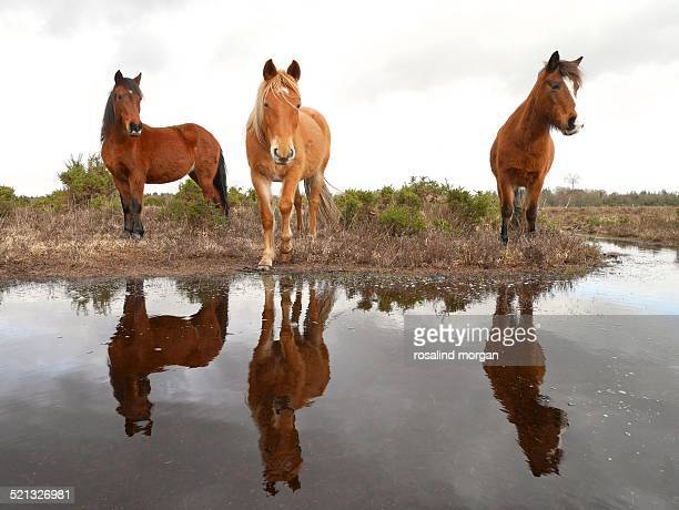 Wild New Forest ponies reflection in flood water