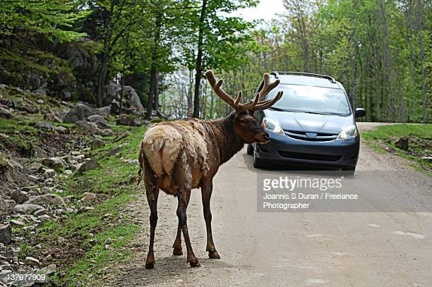 Wild obstacles elk in front of car