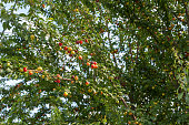 Cherry tree, Wild or sweet Cherry (Prunus avium) tree or gean with green fruits and leaves on the windy sunny day in the nature
